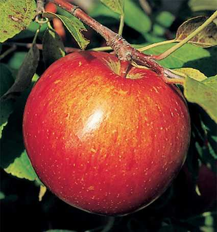Haralson apple photo from Jung Seed